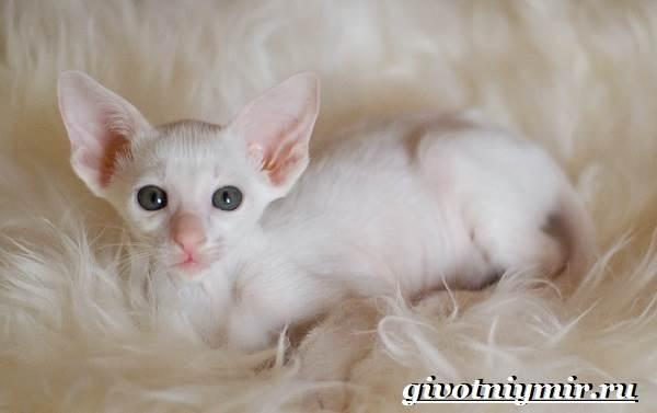 Ориентальная-кошка-Описание-особенности-цена-и-уход-за-ориентальной-кошкой-8