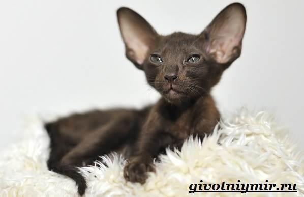 Ориентальная-кошка-Описание-особенности-цена-и-уход-за-ориентальной-кошкой-9