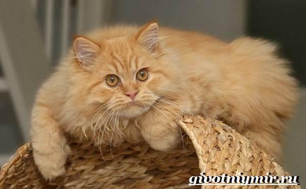 Персидская-кошка-Описание-особенности-цена-и-уход-за-персидской-кошкой-1