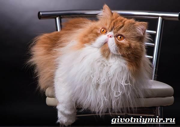 Персидская-кошка-Описание-особенности-цена-и-уход-за-персидской-кошкой-4