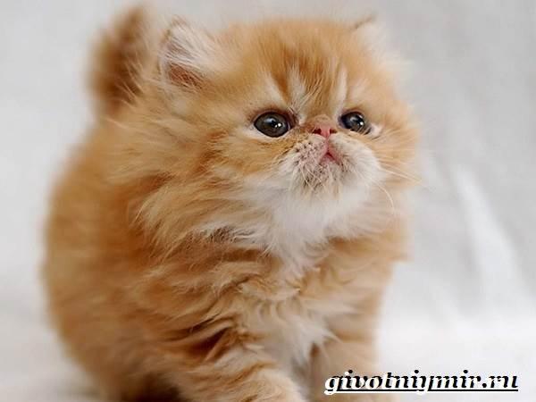Персидская-кошка-Описание-особенности-цена-и-уход-за-персидской-кошкой-5