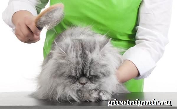 Персидская-кошка-Описание-особенности-цена-и-уход-за-персидской-кошкой-6