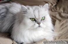 Персидская кошка. Описание, особенности, цена и уход за персидской кошкой