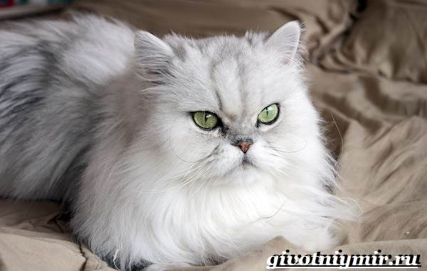 Персидская-кошка-Описание-особенности-цена-и-уход-за-персидской-кошкой-8