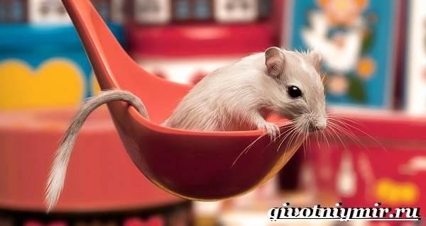 Песчанка-мышь-Образ-жизни-и-среда-обитания-песчанки-1
