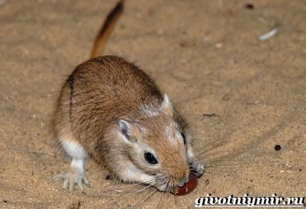 Песчанка-мышь-Образ-жизни-и-среда-обитания-песчанки-2