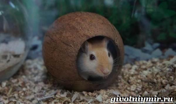 Песчанка-мышь-Образ-жизни-и-среда-обитания-песчанки-3