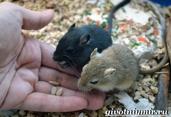 Песчанка-мышь-Образ-жизни-и-среда-обитания-песчанки-4