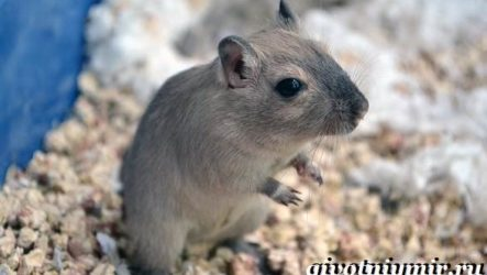 Песчанка мышь. Образ жизни и среда обитания песчанки