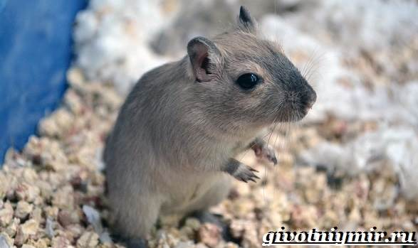 Песчанка-мышь-Образ-жизни-и-среда-обитания-песчанки-5