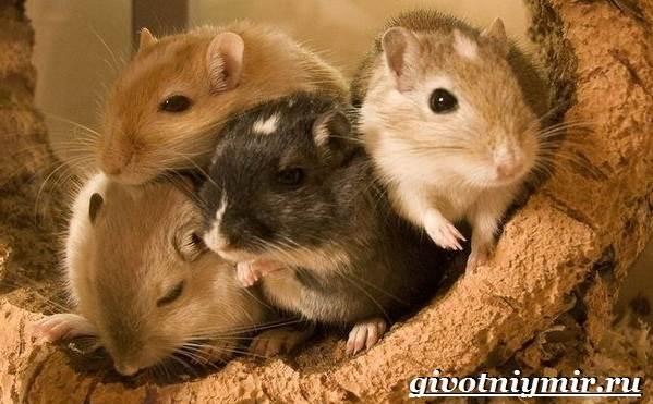 Песчанка-мышь-Образ-жизни-и-среда-обитания-песчанки-8