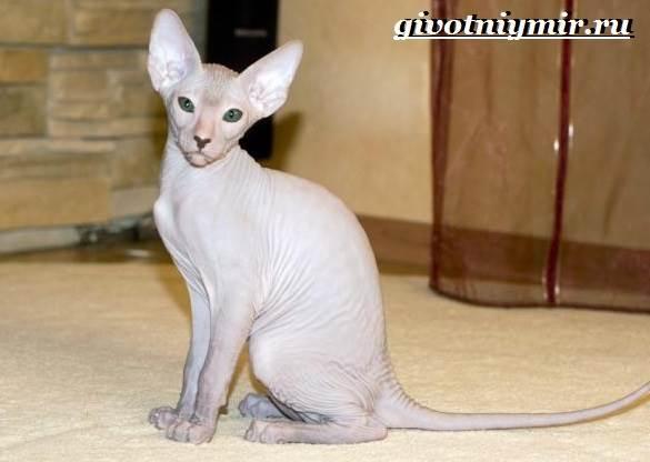 Петерболд-кошка-Описание-особенности-цена-и-уход-за-породой-петерболд-1