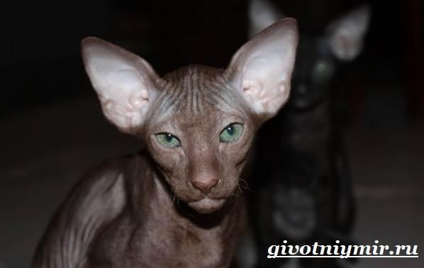 Петерболд-кошка-Описание-особенности-цена-и-уход-за-породой-петерболд-2