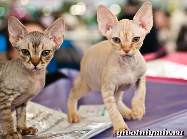 Петерболд-кошка-Описание-особенности-цена-и-уход-за-породой-петерболд-3