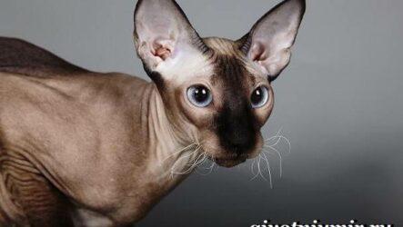 Петерболд кошка. Описание, особенности, цена и уход за породой петерболд