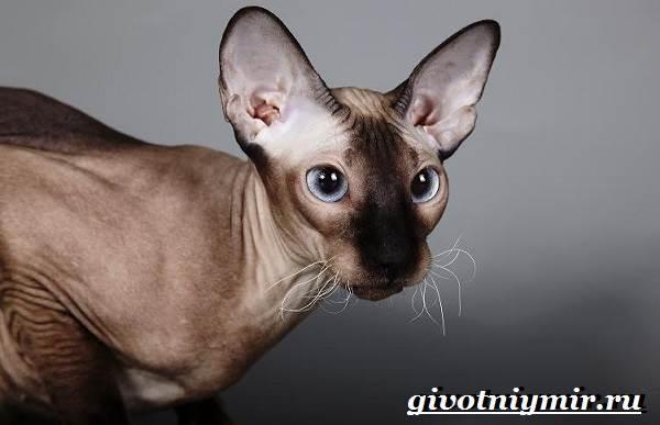 Петерболд-кошка-Описание-особенности-цена-и-уход-за-породой-петерболд-4
