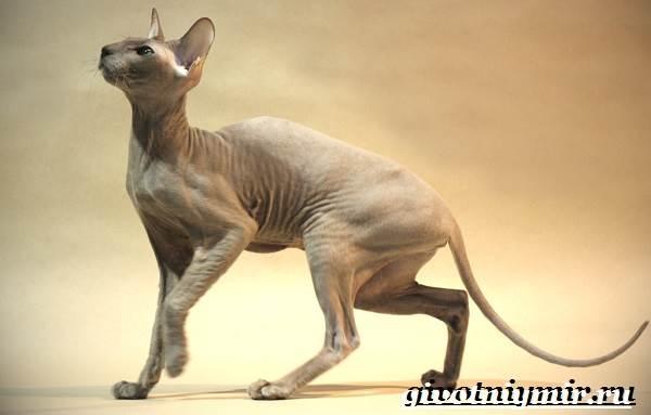 Петерболд-кошка-Описание-особенности-цена-и-уход-за-породой-петерболд-5