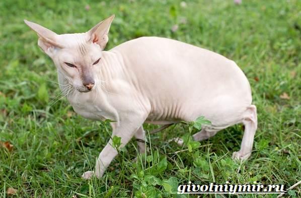 Петерболд-кошка-Описание-особенности-цена-и-уход-за-породой-петерболд-6