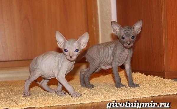 Петерболд-кошка-Описание-особенности-цена-и-уход-за-породой-петерболд-7