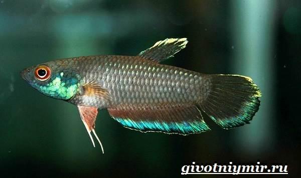 Петушок-рыба-Образ-жизни-и-среда-обитания-рыбы-петушок-2