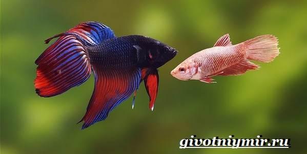 Петушок-рыба-Образ-жизни-и-среда-обитания-рыбы-петушок-4