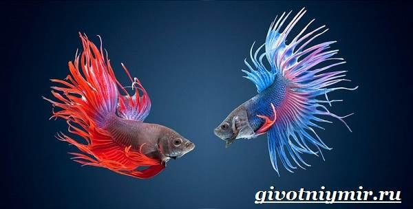 Петушок-рыба-Образ-жизни-и-среда-обитания-рыбы-петушок-6