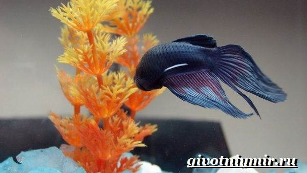 Петушок-рыба-Образ-жизни-и-среда-обитания-рыбы-петушок-8