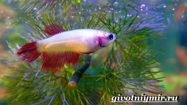 Петушок-рыба-Образ-жизни-и-среда-обитания-рыбы-петушок-9
