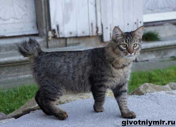 Пиксибоб-кошка-Описание-особенности-уход-и-цена-кошки-пиксибоб-10