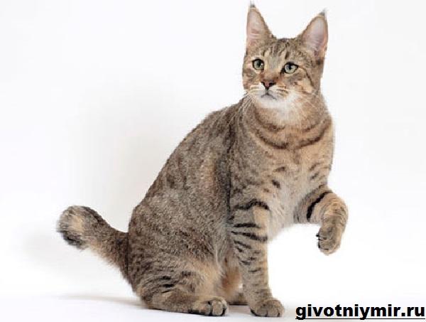 Пиксибоб-кошка-Описание-особенности-уход-и-цена-кошки-пиксибоб-12