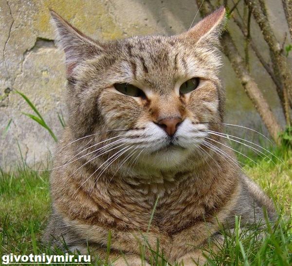 Пиксибоб-кошка-Описание-особенности-уход-и-цена-кошки-пиксибоб-13
