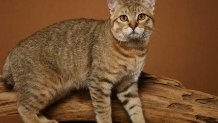 Пиксибоб кошка. Описание, особенности, уход и цена кошки пиксибоб