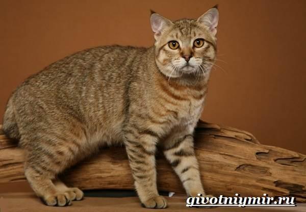 Пиксибоб-кошка-Описание-особенности-уход-и-цена-кошки-пиксибоб-3