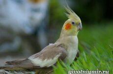 Попугай корелла. Описание, особенности, цена и уход за попугаем корелла