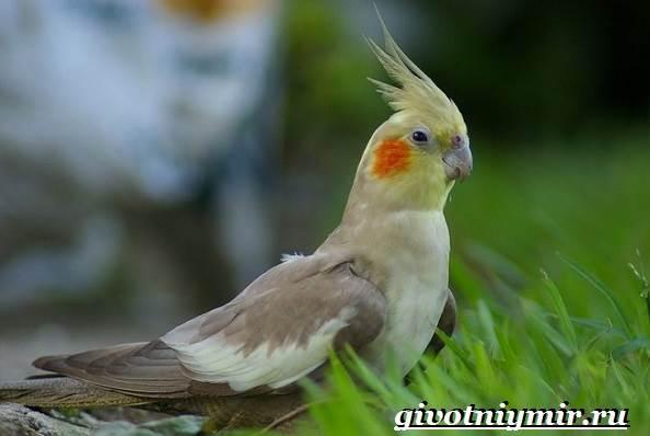Попугай-корелла-Описание-особенности-цена-и-уход-за-попугаем-корелла-1