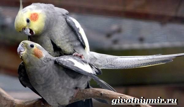 Попугай-корелла-Описание-особенности-цена-и-уход-за-попугаем-корелла-2