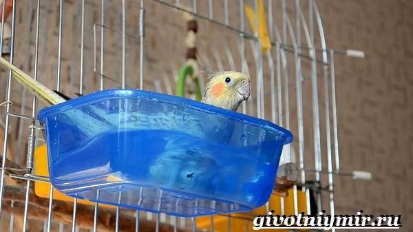 Попугай-корелла-Описание-особенности-цена-и-уход-за-попугаем-корелла-5
