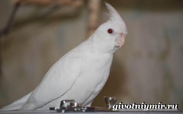 Попугай-корелла-Описание-особенности-цена-и-уход-за-попугаем-корелла-6
