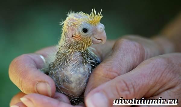 Попугай-корелла-Описание-особенности-цена-и-уход-за-попугаем-корелла-7