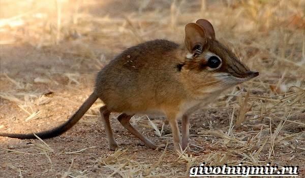 Прыгунчик-животное-Образ-жизни-и-среда-обитания-прыгунчика-2