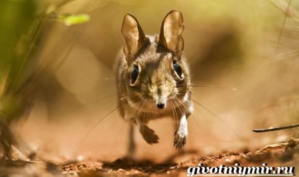 Прыгунчик-животное-Образ-жизни-и-среда-обитания-прыгунчика-3