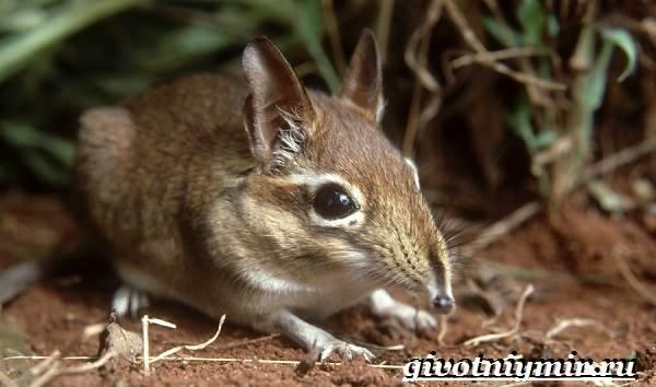 Прыгунчик-животное-Образ-жизни-и-среда-обитания-прыгунчика-6