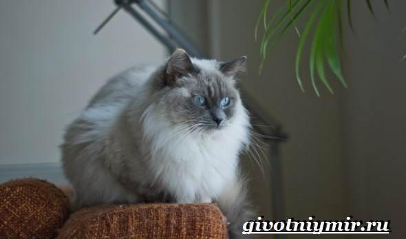 Рэгдолл-кошка-Описание-особенности-цена-и-уход-за-кошкой-регдолл-4