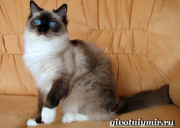 Рэгдолл-кошка-Описание-особенности-цена-и-уход-за-кошкой-регдолл-5