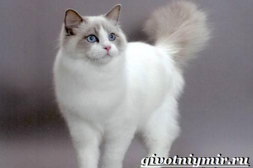 Рэгдолл-кошка-Описание-особенности-цена-и-уход-за-кошкой-регдолл-6