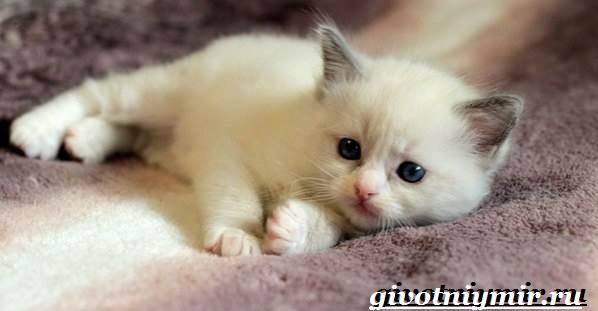 Рэгдолл-кошка-Описание-особенности-цена-и-уход-за-кошкой-регдолл-9