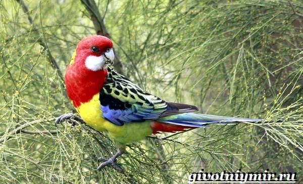 Розелла-попугай-Образ-жизни-и-среда-обитания-попугая-розелла-1