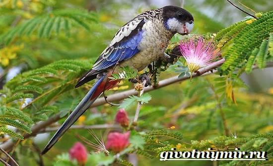 Розелла-попугай-Образ-жизни-и-среда-обитания-попугая-розелла-2