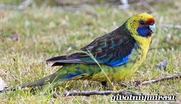 Розелла-попугай-Образ-жизни-и-среда-обитания-попугая-розелла-3