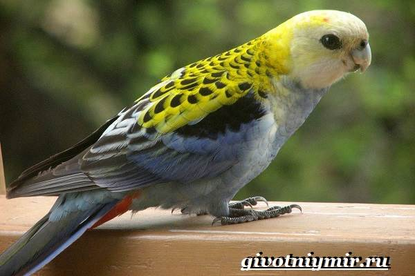 Розелла-попугай-Образ-жизни-и-среда-обитания-попугая-розелла-4